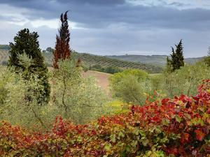 Vineyard Near Montalcino, Italy, Tuscany by Adam Jones
