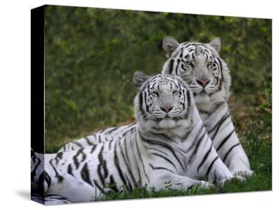 White Bengal Tigers, Panthera Tigris, Asia