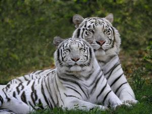 White Bengal Tigers, Panthera Tigris, Asia by Adam Jones