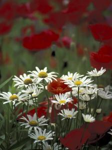 White Daisies and Red Poppies, near Crosby, Tennessee, USA by Adam Jones