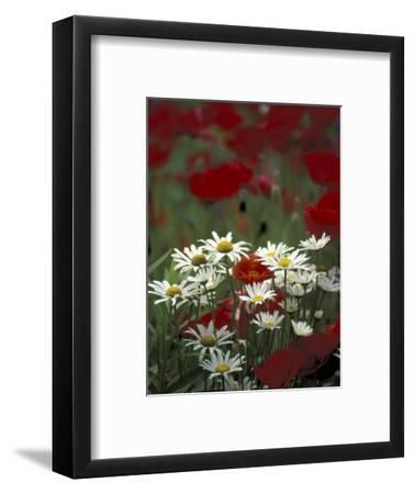 White Daisies and Red Poppies, near Crosby, Tennessee, USA
