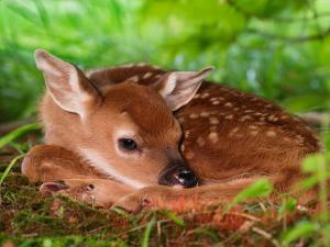 White-tailed Deer Baby, Kentucky by Adam Jones