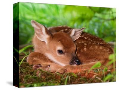 White-tailed Deer Baby, Kentucky