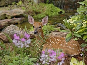 White-Tailed Deer Fawn Hiding in Backyard Landscaping, Louisville, Kentucky by Adam Jones