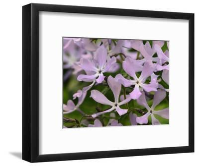 Wild Blue Phlox, Great Smoky Mountains National Park, Tennessee, USA