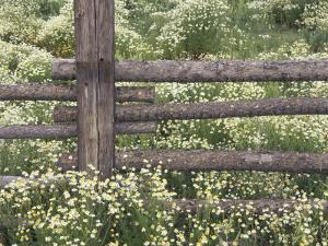 Wild Chamomile Around Log Fence, Colorado, USA by Adam Jones