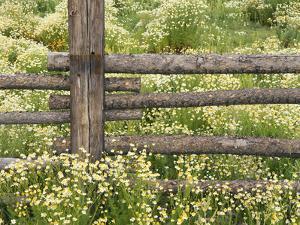 Wild Chamomile Growing around Log Fence by Adam Jones