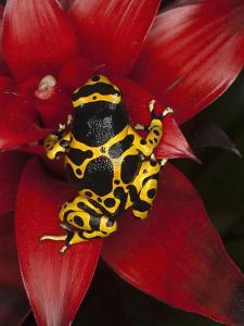 Yellow-Banded Poison Frog (Dendrobates Leucomelas), Venezuela by Adam Jones