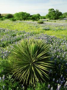 Yucca, and Bluebonnets, Texas Hill Country by Adam Jones
