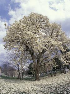 Yulan Magnolia Tree and Blossoms, Louisville, Kentucky, USA by Adam Jones