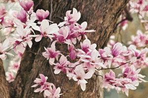 Yulan Magnolia Tree Blossoms, Louisville, Kentucky by Adam Jones