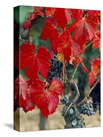Vine in Autumn, St. Emilion, Bordeaux, France