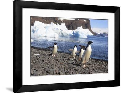 Adelie Penguin. Devil Island, Antarctica.-Tom Norring-Framed Photographic Print