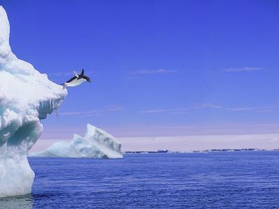 Adelie Penguin Jumping From Iceberg--Photographic Print
