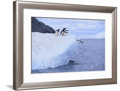 Adelie Penguin Jumping into the Sea-DLILLC-Framed Photographic Print