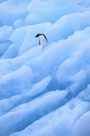 https://imgc.artprintimages.com/img/print/adelie-penguin-on-blue-ice_u-l-pzr8nl0.jpg?p=0