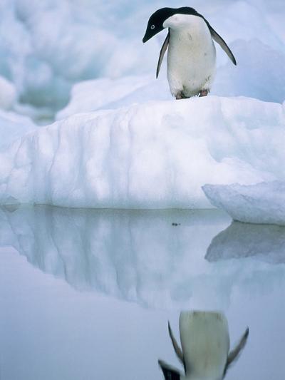 Adelie Penguin on Ice Floe-Theo Allofs-Photographic Print