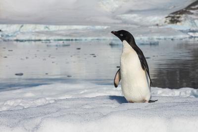 https://imgc.artprintimages.com/img/print/adelie-penguin-pygoscelis-adeliae-colony-in-hope-bay-antarctica-polar-regions_u-l-q1brpgw0.jpg?p=0