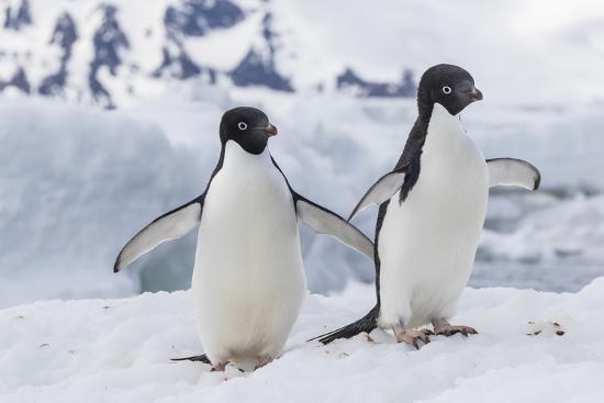 Adelie Penguin (Pygoscelis Adeliae) Pair, at Brown Bluff, Antarctica, Southern Ocean, Polar Regions-Michael Nolan-Photographic Print