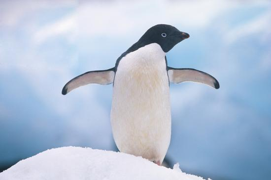 Adelie Penguin with Wings Outstretched-DLILLC-Photographic Print