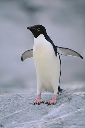 https://imgc.artprintimages.com/img/print/adelie-penguin-with-wings-outstretched_u-l-pzrdli0.jpg?p=0