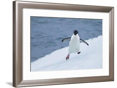 Adelie Penguin-Joe McDonald-Framed Photographic Print