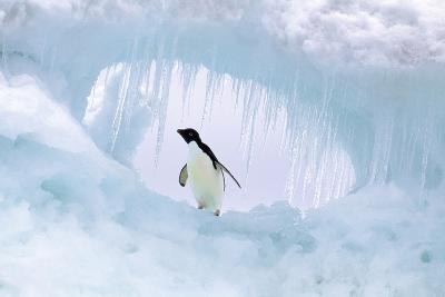 Adelie Penguin--Photographic Print