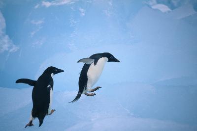 Adelie Penguins Climbing Ice Floe-DLILLC-Photographic Print