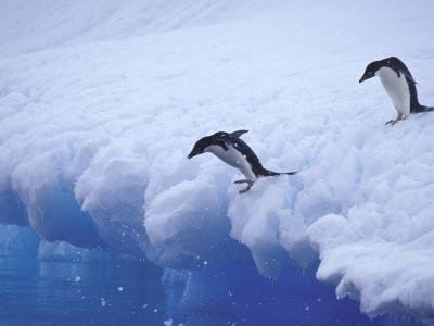 Adelie Penguins Dive from an Iceberg, Antarctica-Hugh Rose-Photographic Print