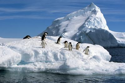 Adelie Penguins Jump from Iceberg Paulet Is Antarctic Summer-Design Pics Inc-Photographic Print