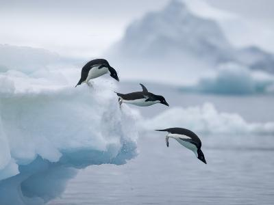 Adelie Penguins Jumping into Ocean-Tim Davis-Photographic Print