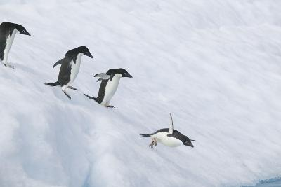 Adelie Penguins Jumping into the Sea-DLILLC-Photographic Print