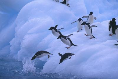 Adelie Penguins Jumping into Water-DLILLC-Photographic Print