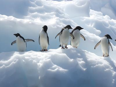 Adelie Penguins Lined Up on an Iceberg-Tom Murphy-Photographic Print