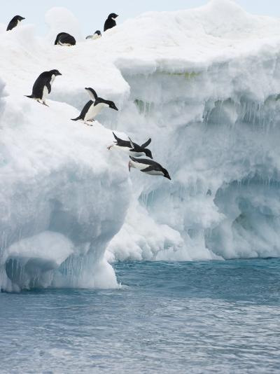 Adelie Penguins Lined Up to Jump from an Iceberg into Chilly Waters-Tom Murphy-Photographic Print