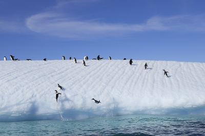 Adelie Penguins on a Frozen Slope-Jim Richardson-Photographic Print