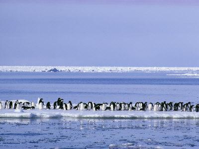 https://imgc.artprintimages.com/img/print/adelie-penguins-pygoscelis-adeliae-cluster-together-on-an-ice-floe_u-l-p4v3400.jpg?p=0