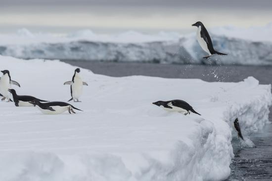 Adelie Penguins, Pygoscelis Adeliae, Exit the Sea-Cristina Mittermeier-Photographic Print