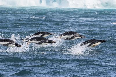 Adelie Penguins (Pygoscelis Adeliae) Porpoising at Sea at Brown Bluff, Antarctica, Southern Ocean-Michael Nolan-Photographic Print