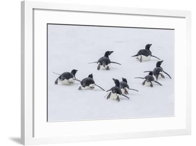 Adelie Penguins (Pygoscelis Adeliae) Tobogganing to the Sea at Brown Bluff-Michael Nolan-Framed Photographic Print