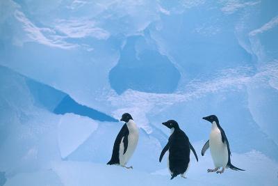 Adelie Penguins Standing on Ice Floe-DLILLC-Photographic Print