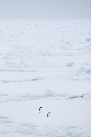 Adelie Penguins Walking along Sea Ice-DLILLC-Photographic Print