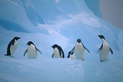 Adelie Penguins Walking on Ice Floe-DLILLC-Photographic Print