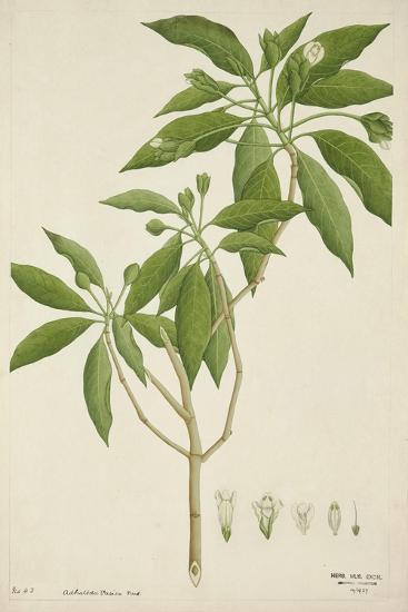 Adhatoda Vasica Nees, 1800-10--Giclee Print