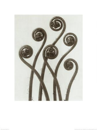 https://imgc.artprintimages.com/img/print/adiantum-pedatum-hair-fern_u-l-f101k00.jpg?p=0