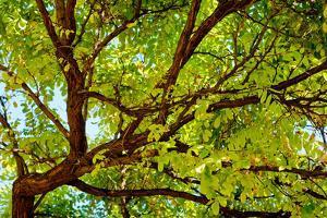 Locust Tree Close-Up Background. by adistock