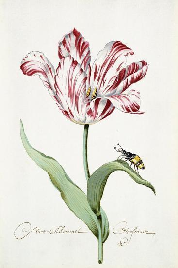 Admiral Tulip, 1699--Giclee Print