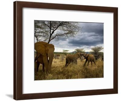 Adolescent elephants tussle amiably-Michael Nichols-Framed Photographic Print