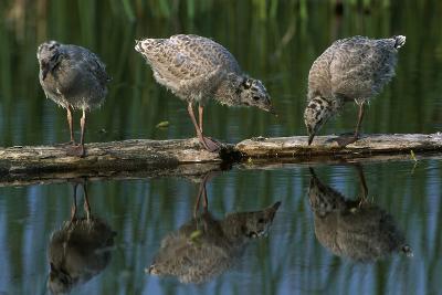Adolescent Gull Chicks on Log Potter Marsh Sc Ak Summer Wildlife Refuge-Design Pics Inc-Photographic Print