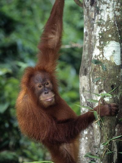 Adolescent Sumatran Orangutan, Indonesia-D^ Robert Franz-Photographic Print